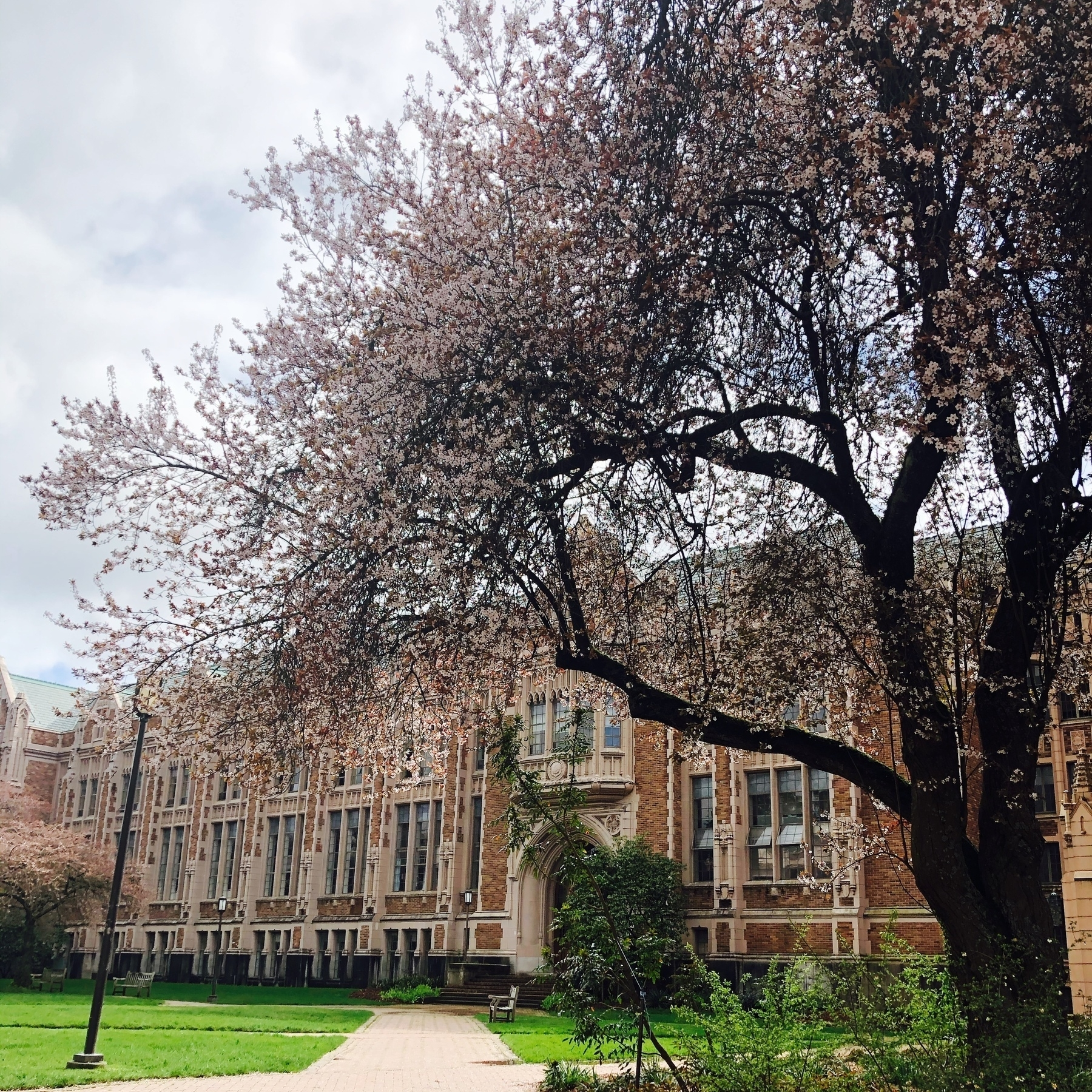 An old brick academic building with a blooming japanese cherry tree out front