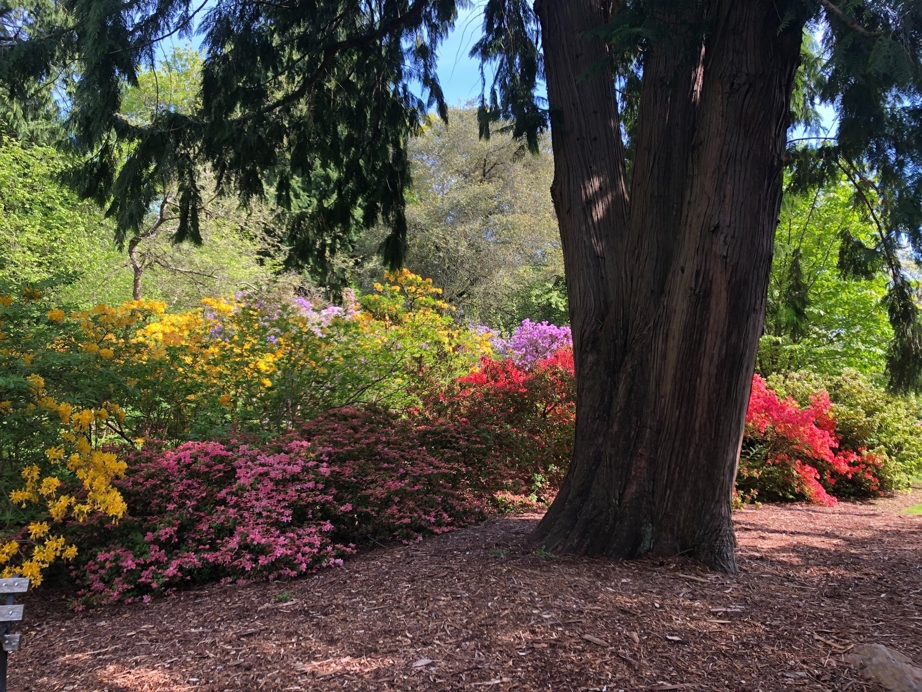 A mound of azalea bushes in yellow, red, pink, and purple