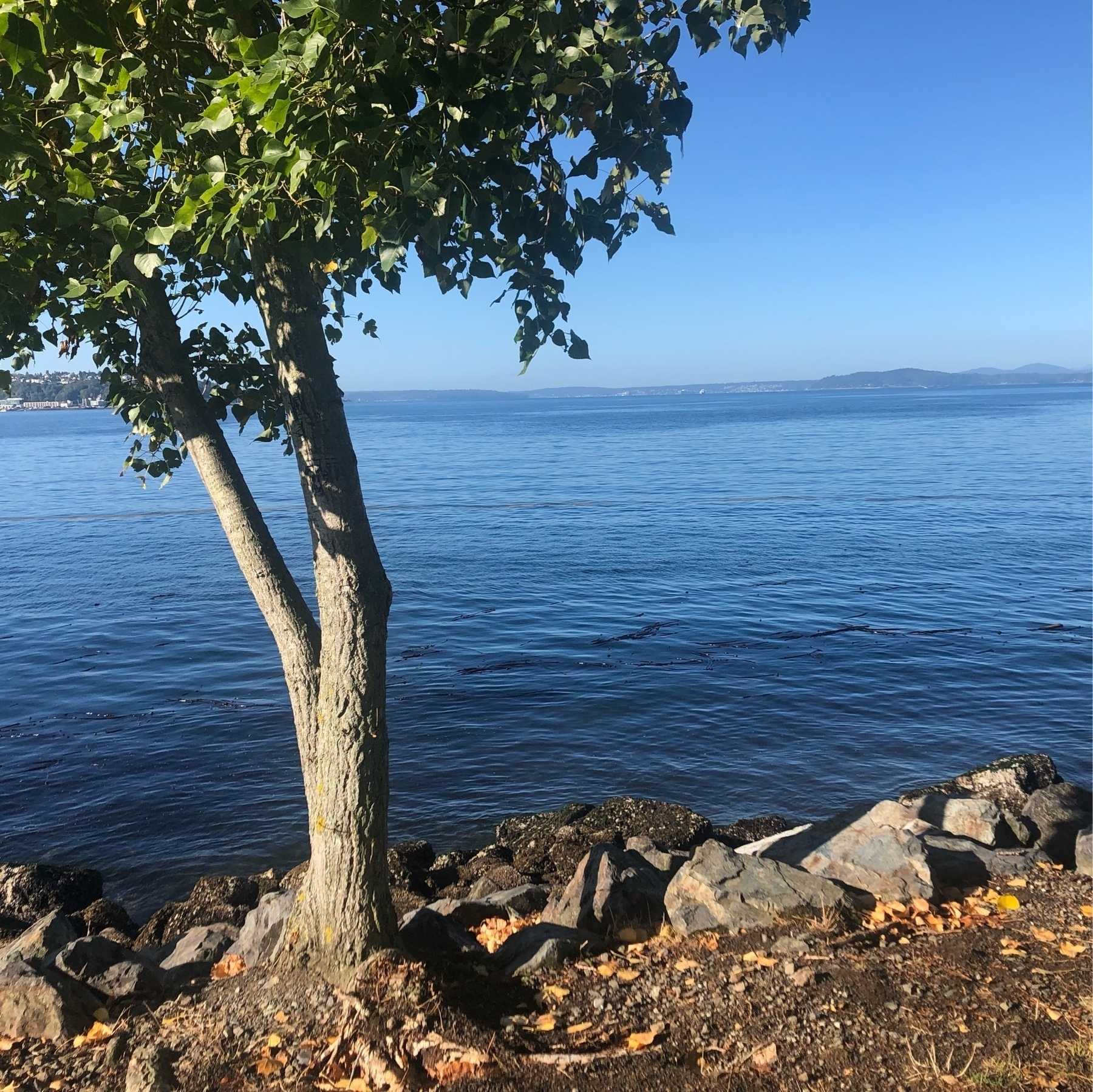 A beautiful azure bay with a tree in the foreground. A few leaves scatter the yellowish grass.