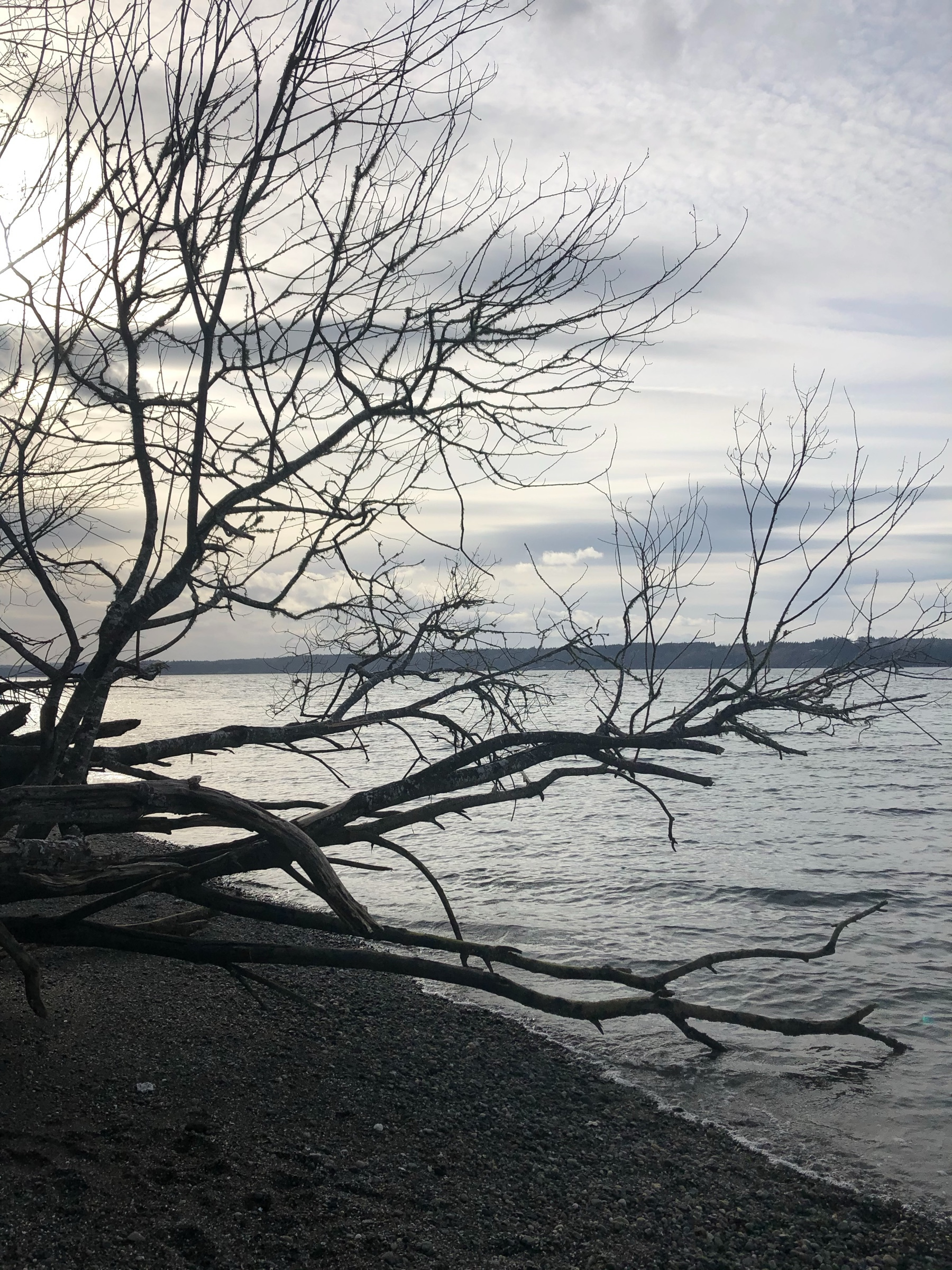 Beautiful driftwood branches hang low over a rocky beach