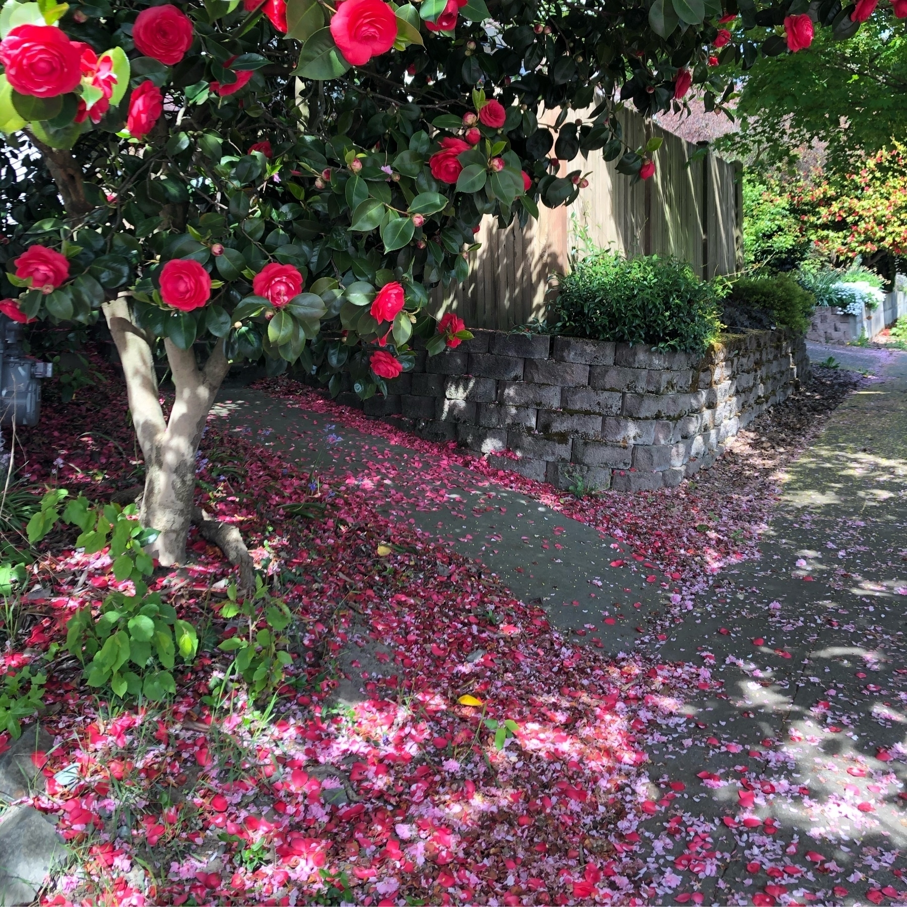 A residental sidewalk is caked with pink and red petals