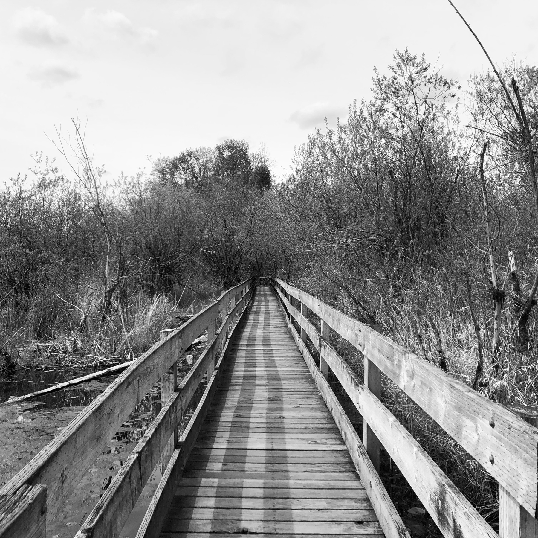 A narrow wooden boardwalk disappears into a brushy marshland