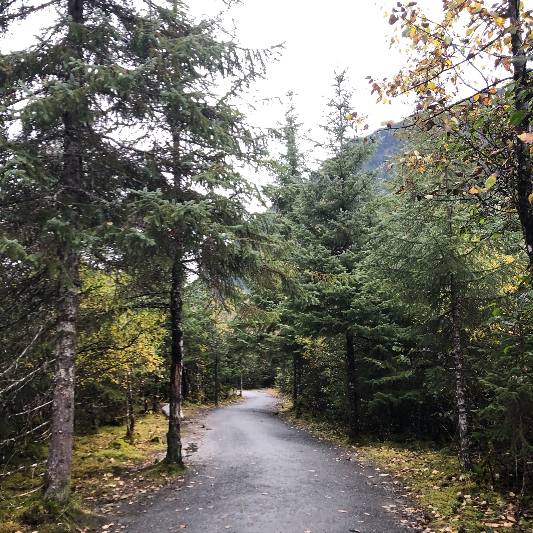 A gravel path zigzags through a forest of evergreen and deciduous trees on a cold day. The deciduous trees are yellow with brown spots. A late-fall rainforest, thick and lush.